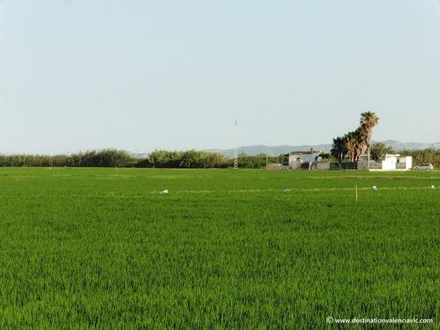 arrozales-junto-el-palmar-valencia-parque-natural-albufera