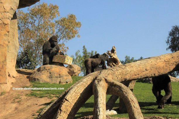 10-aniversario-bioparc-gorilas-regalo-copyright www.destinationvalenciavlc.com