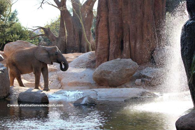 elefante-sabana-africana-bioparc-valencia-copyright www.destinationvalenciavlc.com