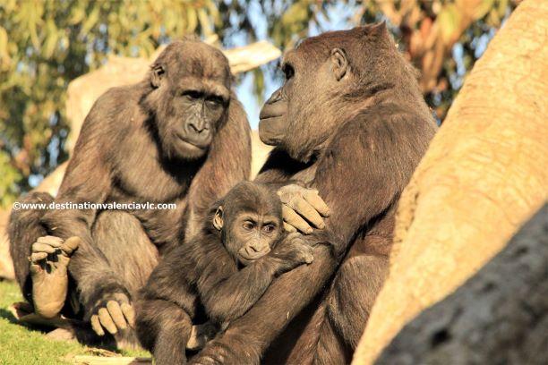 familia-gorilas-bioparc-valencia-copyright www.destinationvalenciavlc.com