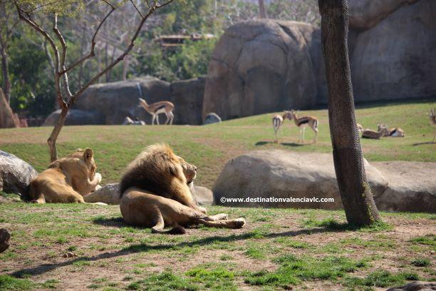 leones-sabana-bioparc-copyright www.destinationvalenciavlc.com